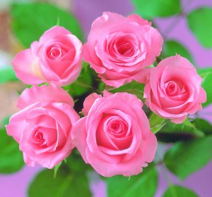 colorful-roses-roses-33473280-1973-1840